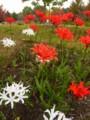[red][white][plant][ヒガンバナ科]ネリネ 馬見丘陵公園にて
