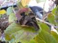 [insect]ホシホウジャク 星蜂雀