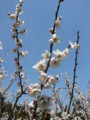 [plant][white][バラ科][奈良県]賀名生梅林にて