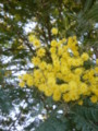 [plant][yellow][マメ科][奈良県]アカシア 大淀町佐名伝にて