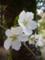 五條市・栄山寺にて サクラの花