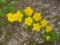 五條市・栄山寺にて ヤマブキの花