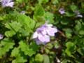 [plant][purple][シソ科]カキドオシ 宇陀市にて
