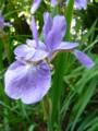 [plant][purple][アヤメ科]アヤメ