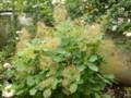 [plant][ウルシ科][奈良県]スモークツリー(ハグマノキ 白熊の木) 橿原市・おふさ観音にて