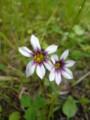 [plant][pink][white][アヤメ科][奈良県]ニワゼキショウ(庭石菖) 宇陀市にて