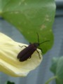 [insect]ベニホタル?