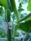 ツノナス(フォックスフェイス)の花