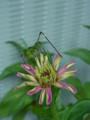 [insect][plant][キク科][pink]キリギリスとジニア(ヒャクニチソウ, 百日草)