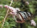 [奈良県][insect][pink][plant][キク科]フジバカマ(藤袴)の花とアサギマダラ(浅葱斑) 桜井市・長谷寺にて