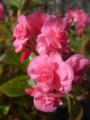 [plant][pink][シュウカイドウ科]ベゴニア・ダブレット