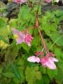 [plant][pink][シュウカイドウ科]シュウカイドウ(秋海棠)