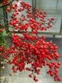[plant][メギ科]ナンテンの実