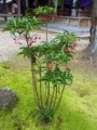 [plant][大阪府][ヤブコウジ科]マンリョウ 富田林市・美具久留御魂神社にて