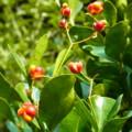 [plant][ニシキギ科]マサキ(柾)の実