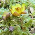 [plant][yellow][キンポウゲ科]フクジュソウ(福寿草) 五條市西吉野町津越にて