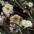 [insect][plant][pink][バラ科][大阪府]道明寺天満宮のウメの花