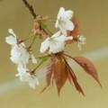 [plant][pink][バラ科][奈良県]ヤマザクラ 吉野町飯貝にて