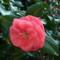千重咲きのツバキの花 橿原市・鷺栖神社にて