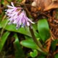 [plant][purple][ユリ科]ショウジョウバカマ(猩々袴) 大淀町佐名伝にて