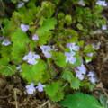 [plant][purple][シソ科]カキドオシ