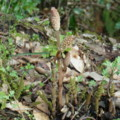 [plant][トクサ科]ツクシ(土筆, スギナ) 下市町才谷にて