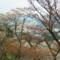 ヤマザクラ 吉野山にて