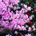 [plant][pink][ツツジ科]ミツバツツジ 吉野山にて