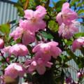 [plant][pink][バラ科]ハナカイドウ(花海棠)