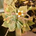 [plant][ベンケイソウ科]グラプトペタルム・パラグアイエンセ「朧月」の花