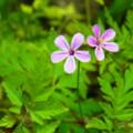 [plant][pink][フウロソウ科]オランダフウロ? 宇陀市にて