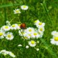 [insect][plant][キク科]ベニシジミとヒメジョオン 宇陀市にて