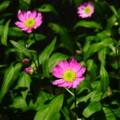 [plant][pink][キク科]ミヤコワスレ