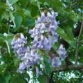 [plant][purple][ゴマノハグサ科][ノウゼンカズラ科]キリ(桐)の花