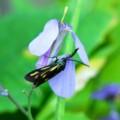 [insect][plant][アブラナ科]キスジホソマダラとムラサキハナナ