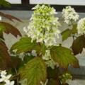 [plant][white][ユキノシタ科][アジサイ科]カシワバアジサイ(柏葉紫陽花) 橿原市・おふさ観音にて