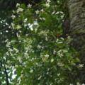 [plant][white][キョウチクトウ科]テイカカズラ?