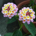 [plant][pink][クマツヅラ科]ランタナ