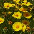 [plant][yellow][キク科]キンケイギク(金鶏菊)