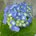[plant][blue][アジサイ科][ユキノシタ科]アジサイ