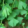 [plant][イチョウ科]イチョウの葉