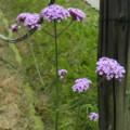[plant][purple][クマツヅラ科]ヤナギハナガサ(柳花笠)