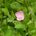 [plant][pink][アカバナ科]アカバナユウゲショウ
