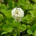 [plant][white][マメ科]シロツメクサ