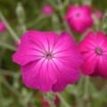 [plant][pink][ナデシコ科]スイセンノウ(酔仙翁, フランネル草)