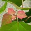 [plant][トウダイグサ科]アカメガシワの葉