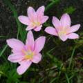 [plant][pink][ヒガンバナ科]サフランモドキ