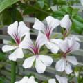 [plant][white][フウロソウ科]アイビーゼラニウム