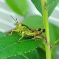 [insect]ヤマトフキバッタ?の幼虫