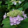 [plant][purple][アジサイ科][ユキノシタ科]ガクアジサイ